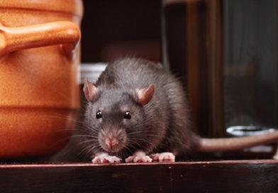 Viral Video Tikus Makan Makanan di Warteg, Ini Bahaya yang Mengintai!